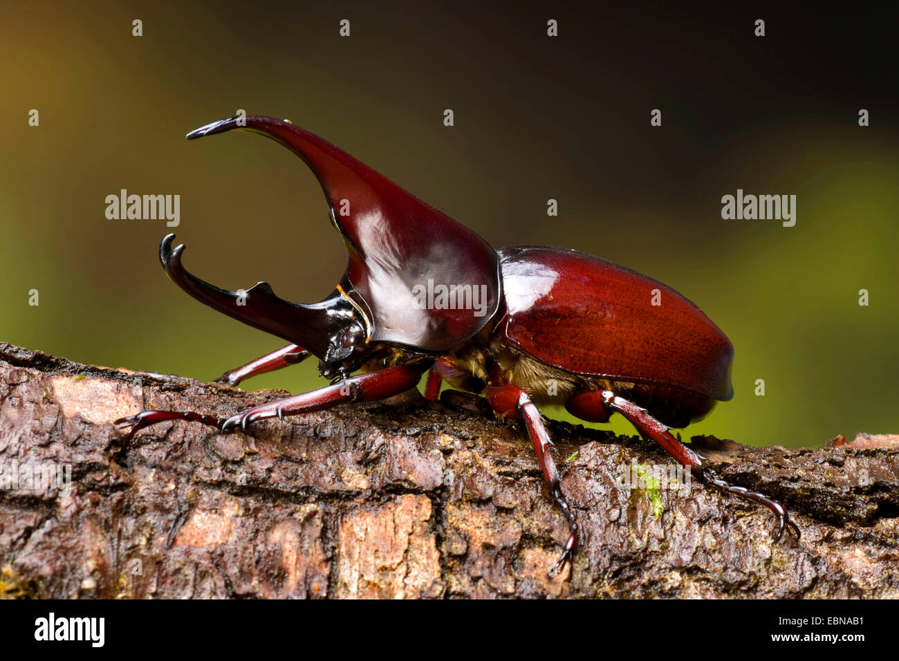 Siamese rhinoceros beetle, Fighting beetle (Xylotrupes gideon), male, close-up view - Stock Image