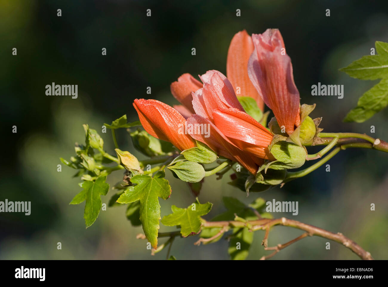 Salmon-red Canary Shrub Mallow (Lavatera phoenicea), blooming, Canary Islands, Tenerife - Stock Image