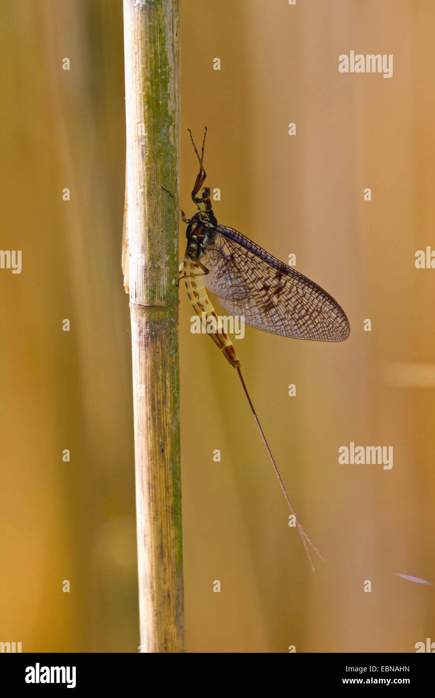 mayfly (Ephemera spec.), sitting at reed, Germany, Bavaria, Lake Chiemsee - Stock Image