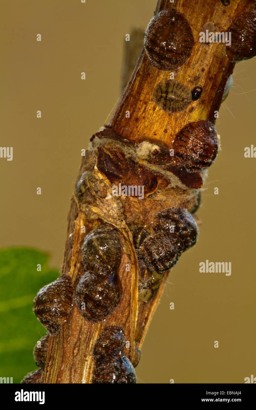 Brown Elm Scale, European Fruit Lecanium (Parthenolecanium corni), females sucking at grapevine - Stock Image
