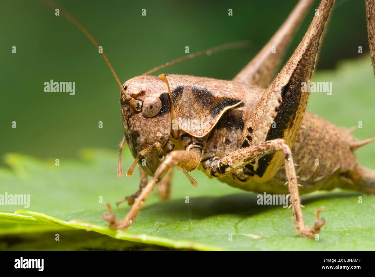 dark bushcricket (Pholidoptera griseoaptera, Thamnotrizon cinereus), portrait, Germany Stock Photo