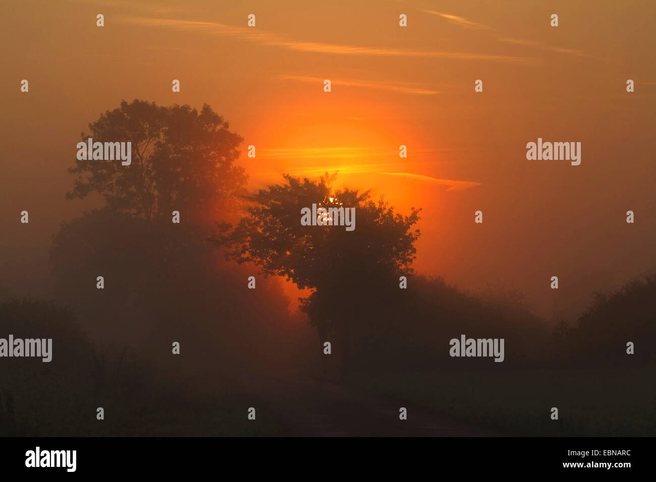 silhouettes of trees in morning damp at sunrise, North Rhine-Westphalia, Muensterland - Stock Image