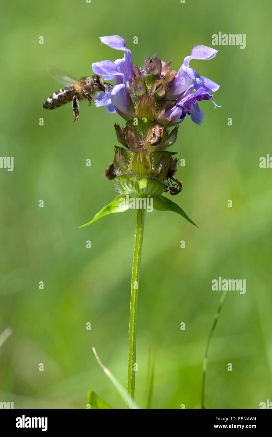 Large self-heal, Prunella loveliness (Prunella grandiflora), inflorescence with bee, Switzerland - Stock Image