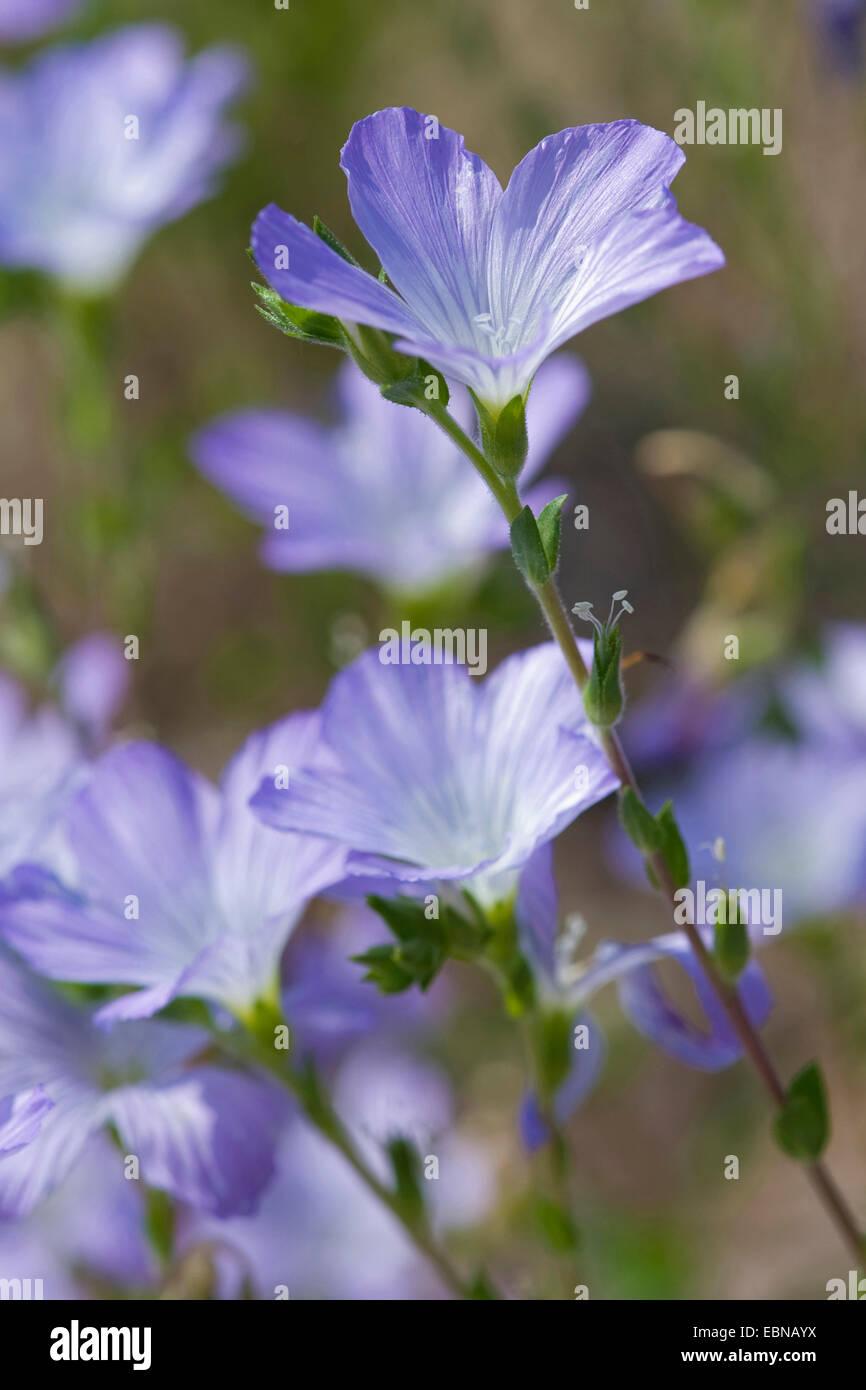 Hairy Flax (Linum hirsutum), blooming - Stock Image