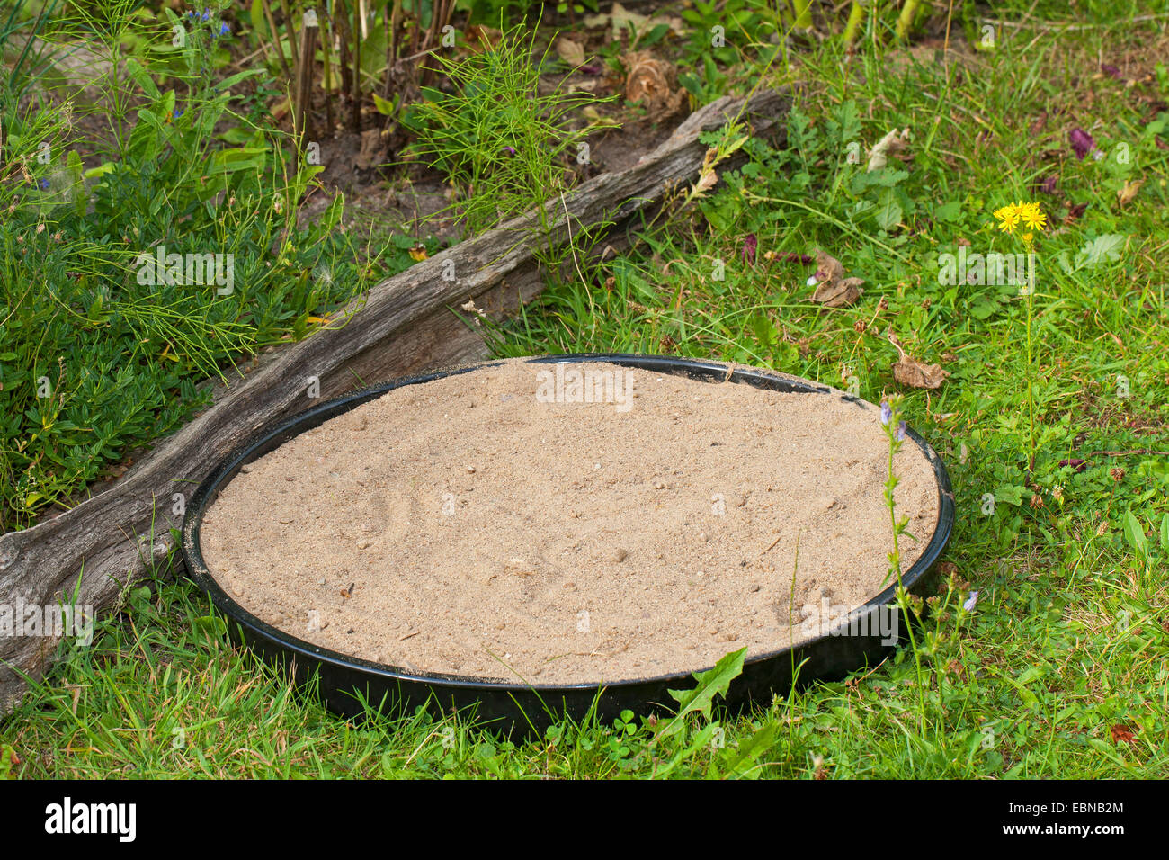 sand bath for sparrows in the garden, Germany - Stock Image