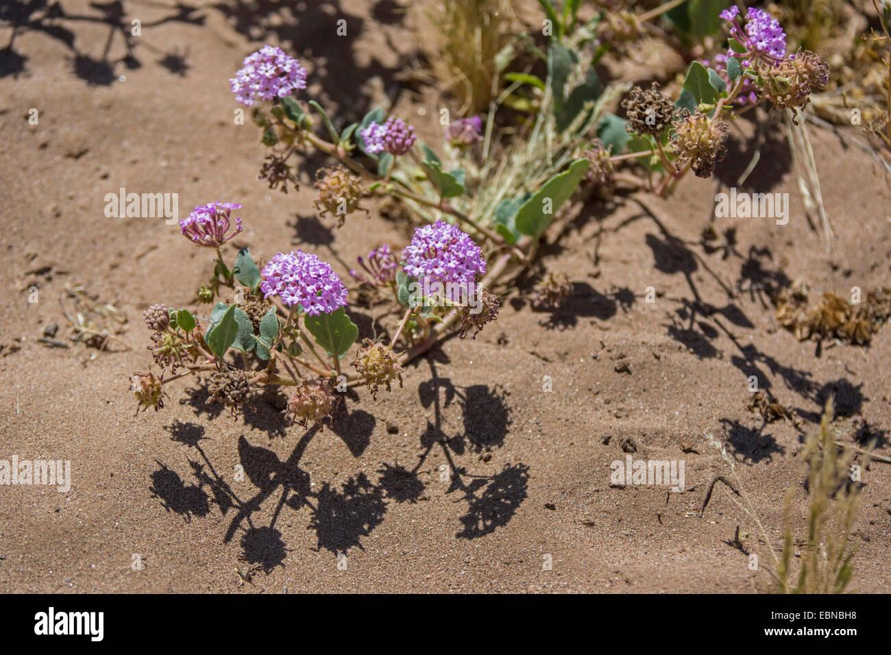 Purple Sand Verbena Abronia Umbellata Blooming Usa Arizona
