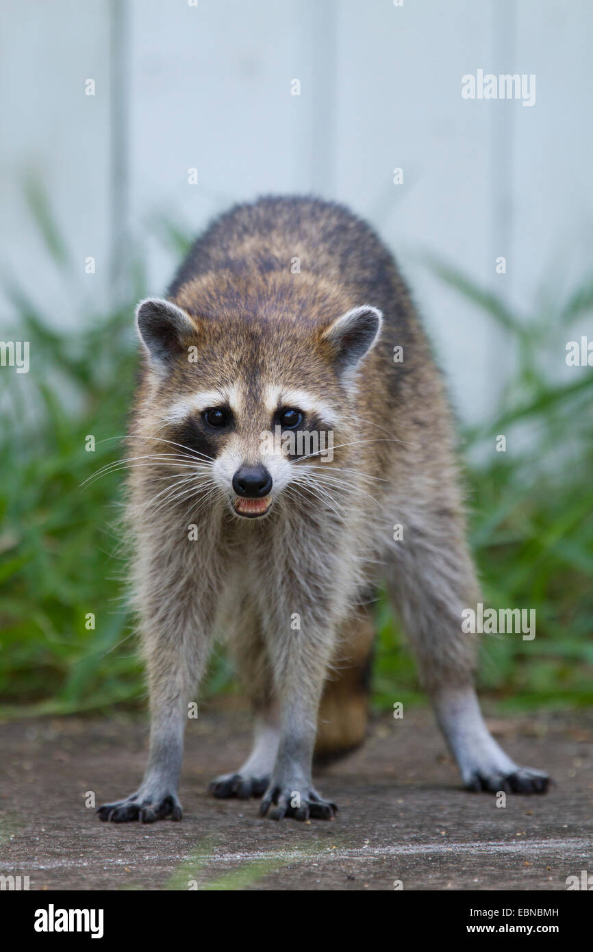 RACCOON (Procyon lotor) female in a backyard, Fort Myers, Florida, USA. - Stock Image
