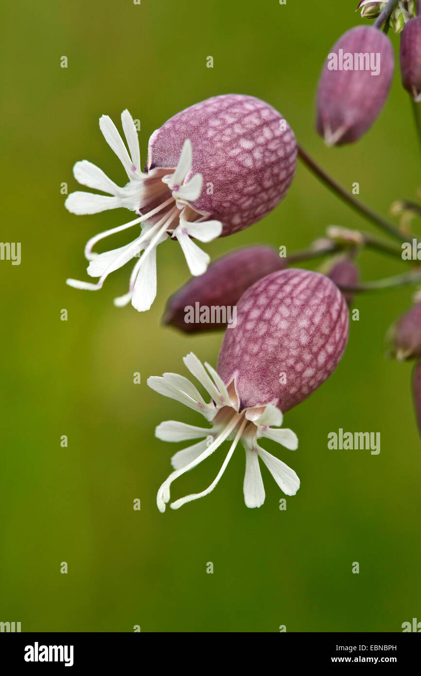 bladder campion, maiden's tears (Silene vulgaris), flower, Switzerland, Bernese Oberland - Stock Image
