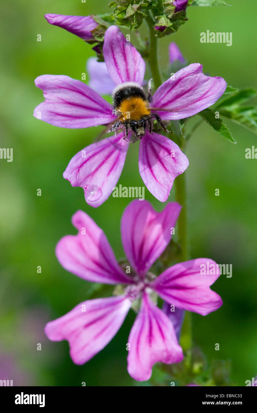 common mallow, blue mallow, high mallow, high cheeseweed (Malva sylvestris), flower with bumble bee, Germany - Stock Image