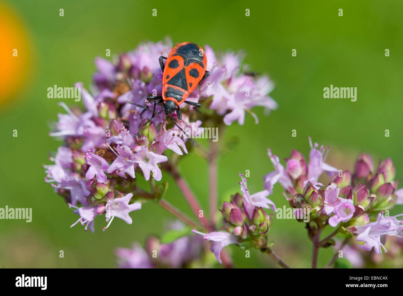 firebug (Pyrrhocoris apterus), sitting on wild marjoram, Germany - Stock Image