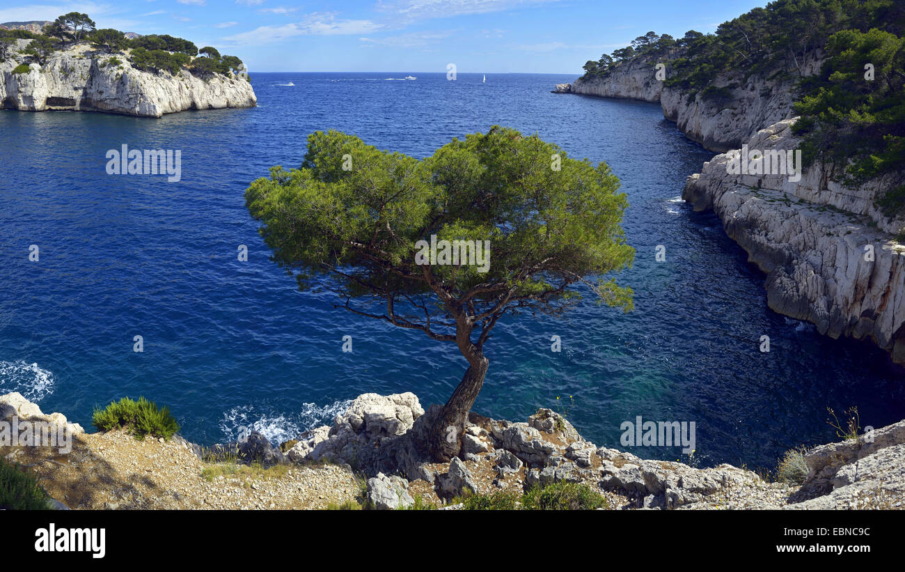 aleppo pine (Pinus halepensis), at rocky coast, France, Provence, Calanques National Park - Stock Image