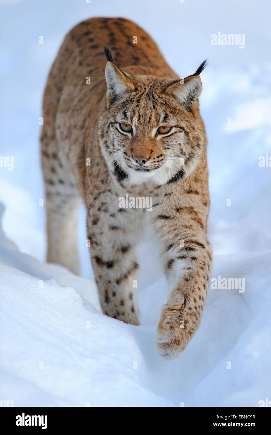 Eurasian lynx (Lynx lynx), adult in deep snow, Germany, Bavaria, Bavarian Forest National Park Stock Photo
