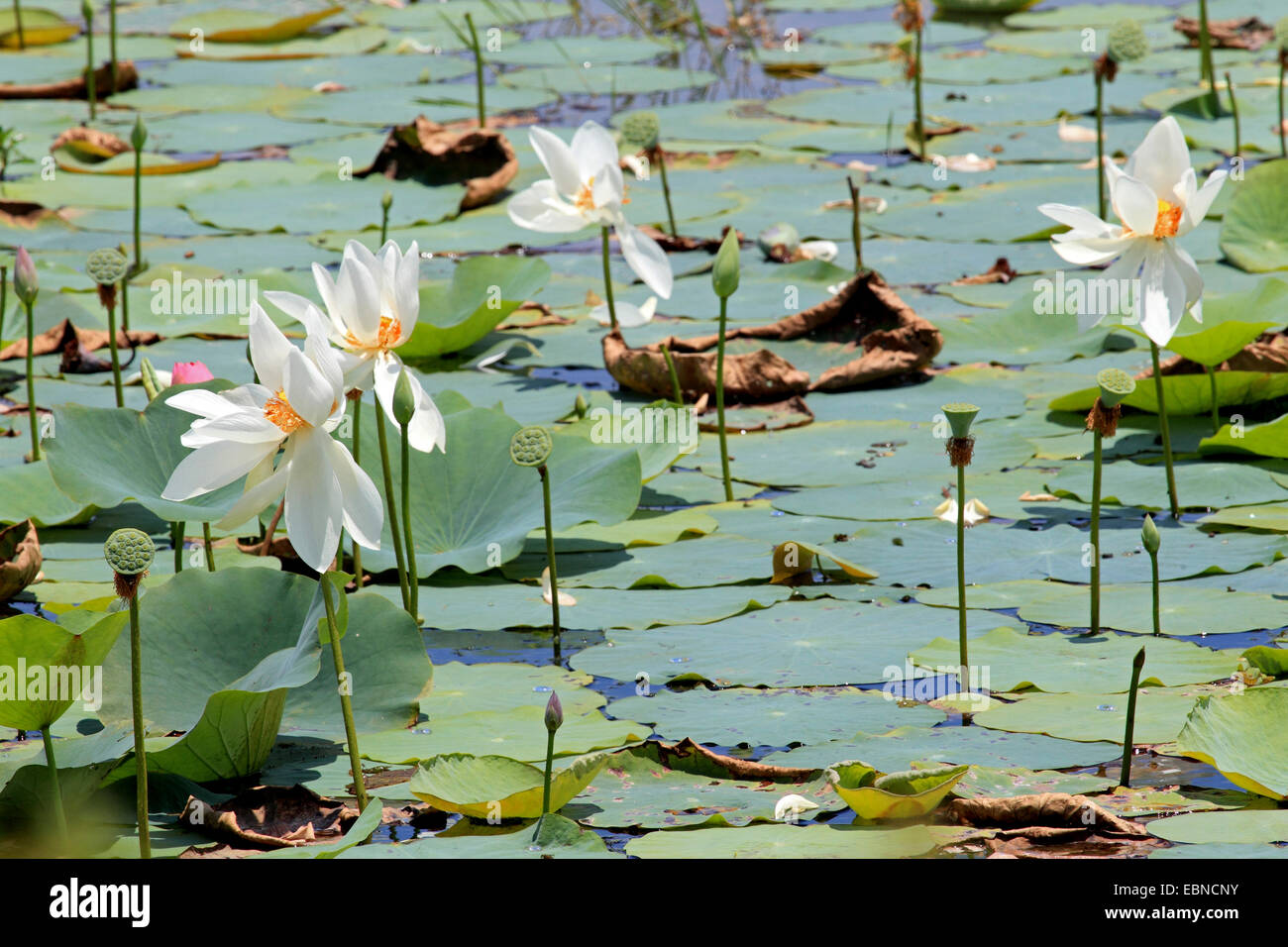 Lotus Flowers Sri Lanka Stock Photos Lotus Flowers Sri Lanka Stock