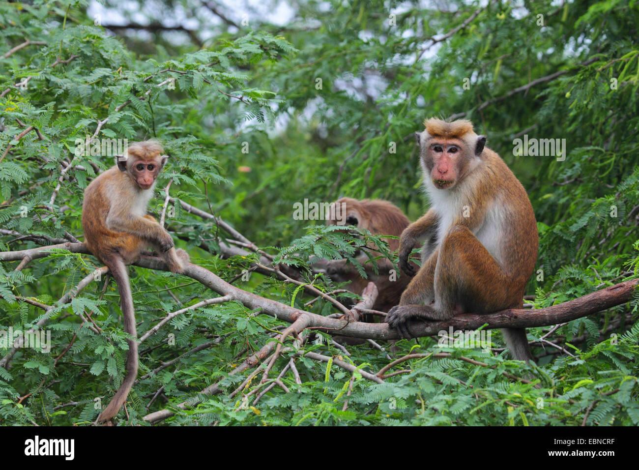 toque macaque (Macaca sinica), animal family sitting on a branch, Sri Lanka, Bundala National Park Stock Photo