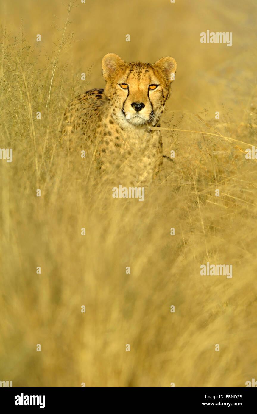 cheetah (Acinonyx jubatus), standing on dried grass in evening light, Namibia, Etosha National Park - Stock Image