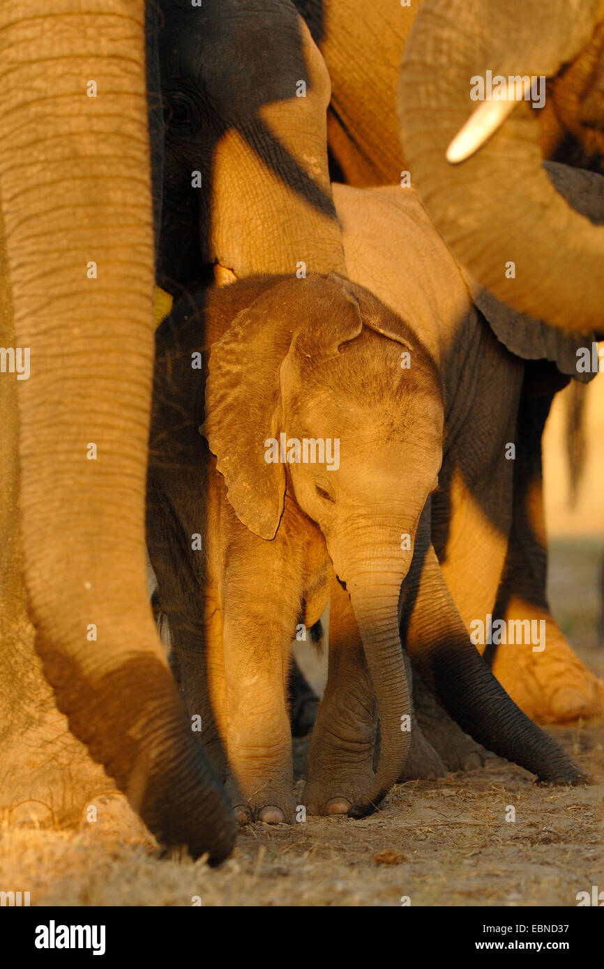 African elephant (Loxodonta africana), protected baby elephant in the midst of the herd, Botswana, Chobe National - Stock Image