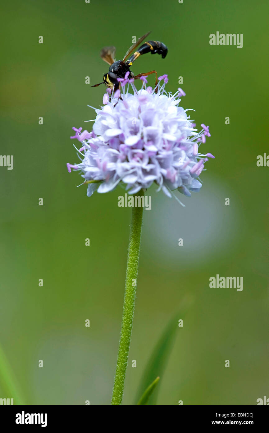 Southern succisella, Devil's Bit Scabious (Succisella inflexa), inflorescence, Germany - Stock Image