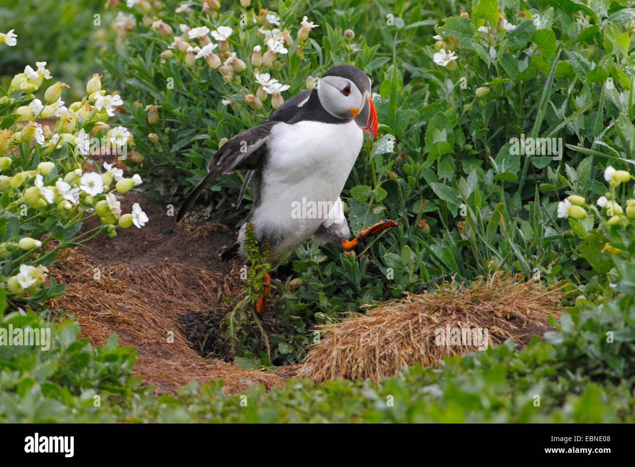 Atlantic puffin, Common puffin (Fratercula arctica), hopping over a hassock, United Kingdom, England, Farne Islands, - Stock Image