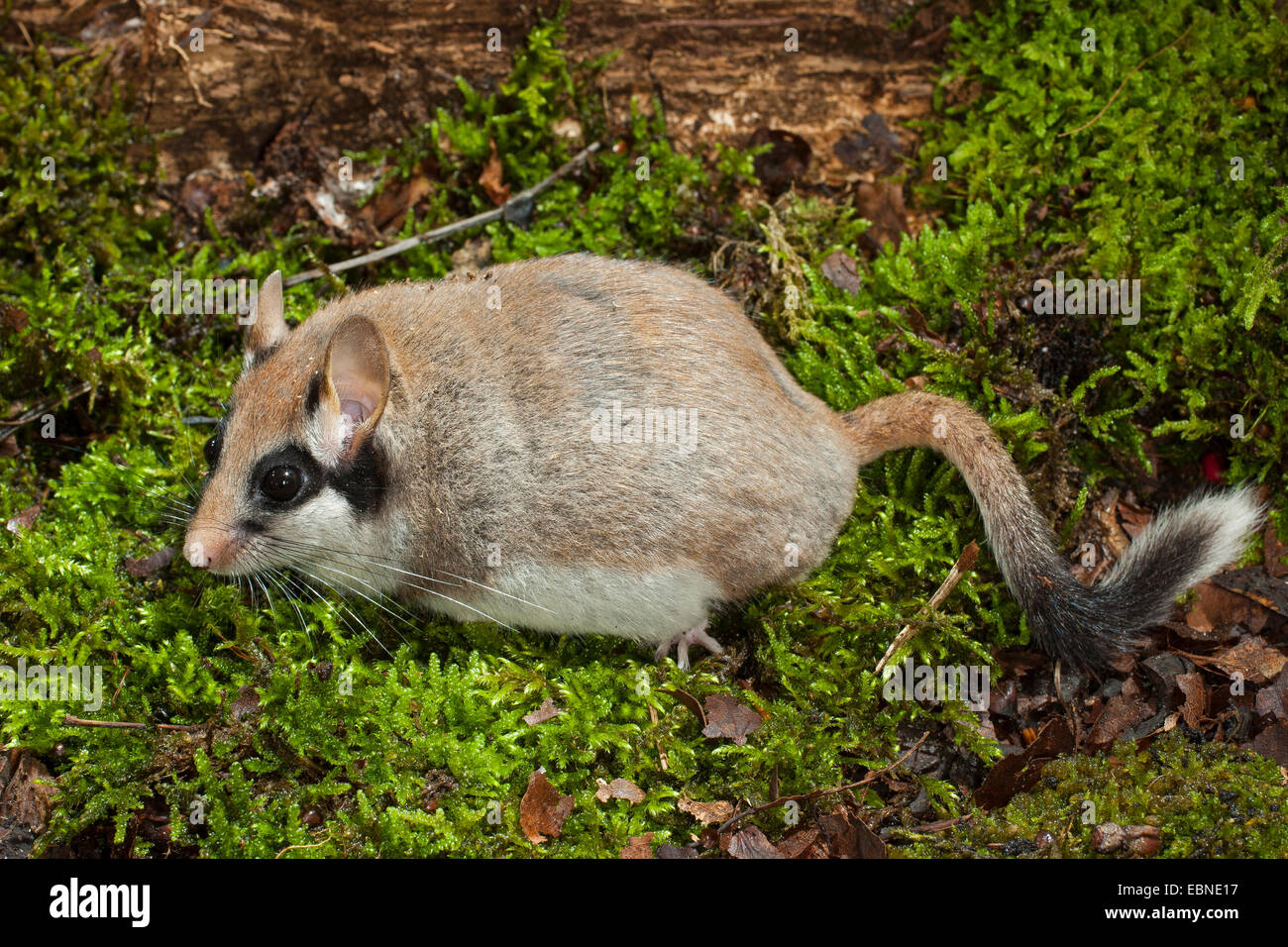 Garden dormouse (Eliomys quercinus), sitting on moss