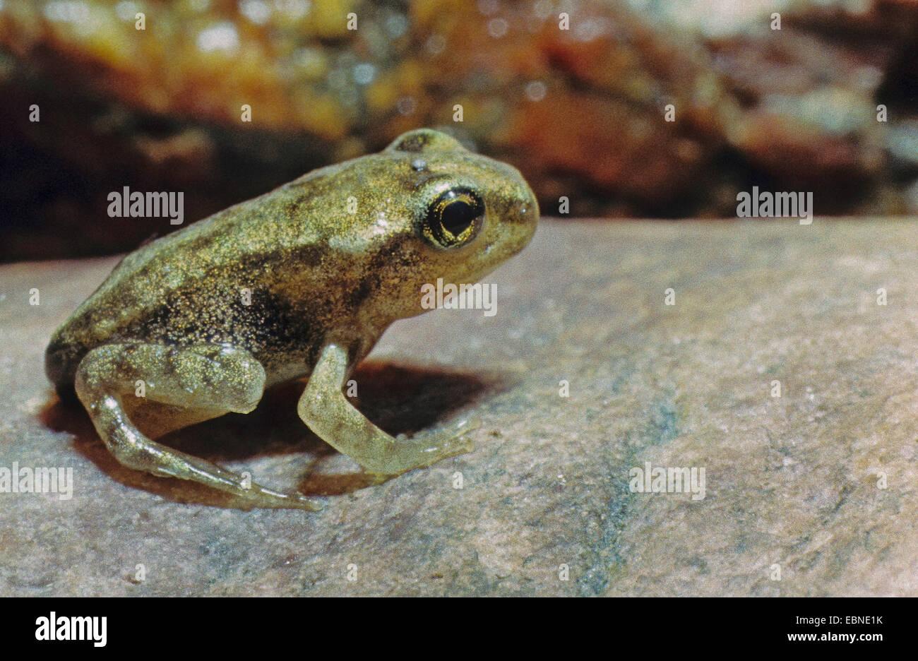 common frog, grass frog (Rana temporaria), young frog, metamorphosis, Germany - Stock Image