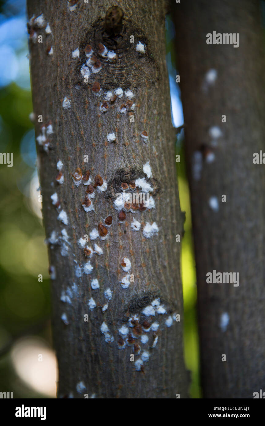Horse Chestnut Scale (Pulvinaria regalis), at a trunk, Germany - Stock Image