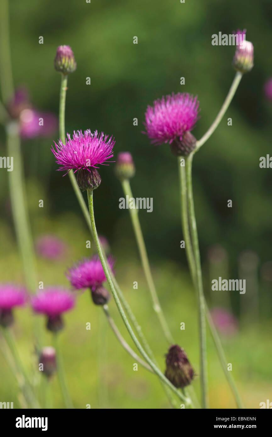 Hungarian Thistle (Cirsium pannonicum), blooming - Stock Image