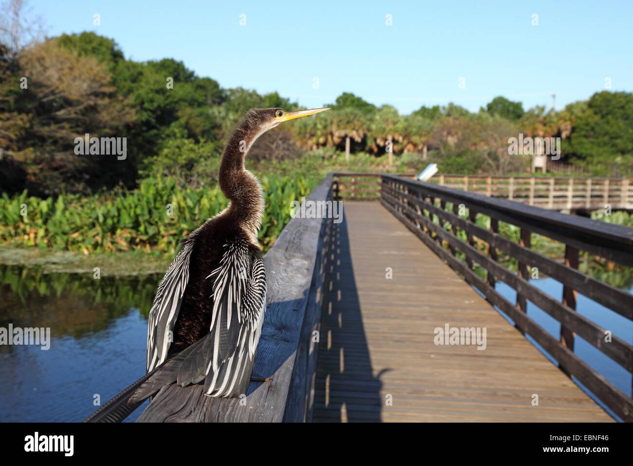 American darter (Anhinga anhinga), immature bird sitting on the railing of a gangplank, USA, Florida - Stock Image