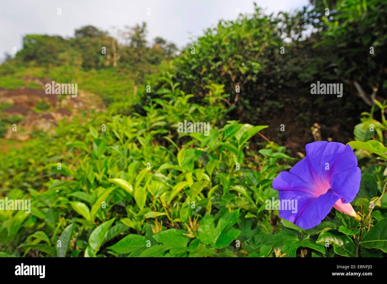 Blue dawn flower oceanblue morning glory blue morning glory stock blue dawn flower oceanblue morning glory blue morning glory ipomoea spec blooming in a tea plantation sri lanka izmirmasajfo