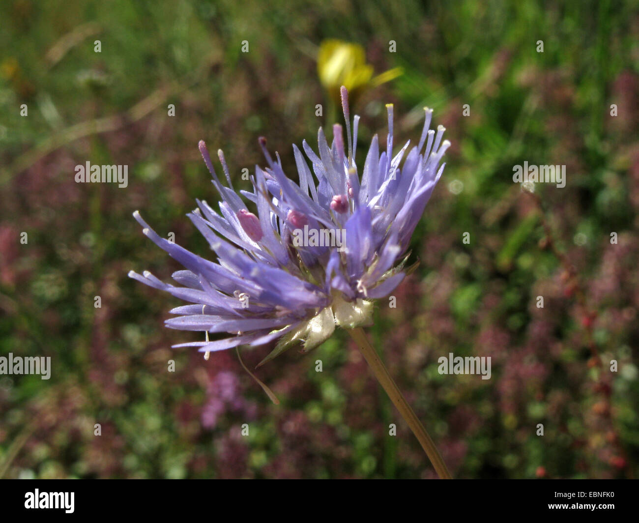 sheep's-bit, sheep's scabious (Jasione montana), inflorescence, Germany, North Rhine-Westphalia - Stock Image