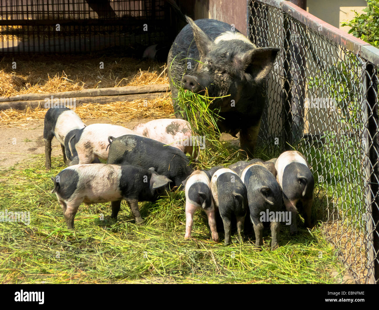 Angeln Saddleback, Angler Sattelschwein  (Sus scrofa f. domestica), sow with piglets when feeding - Stock Image