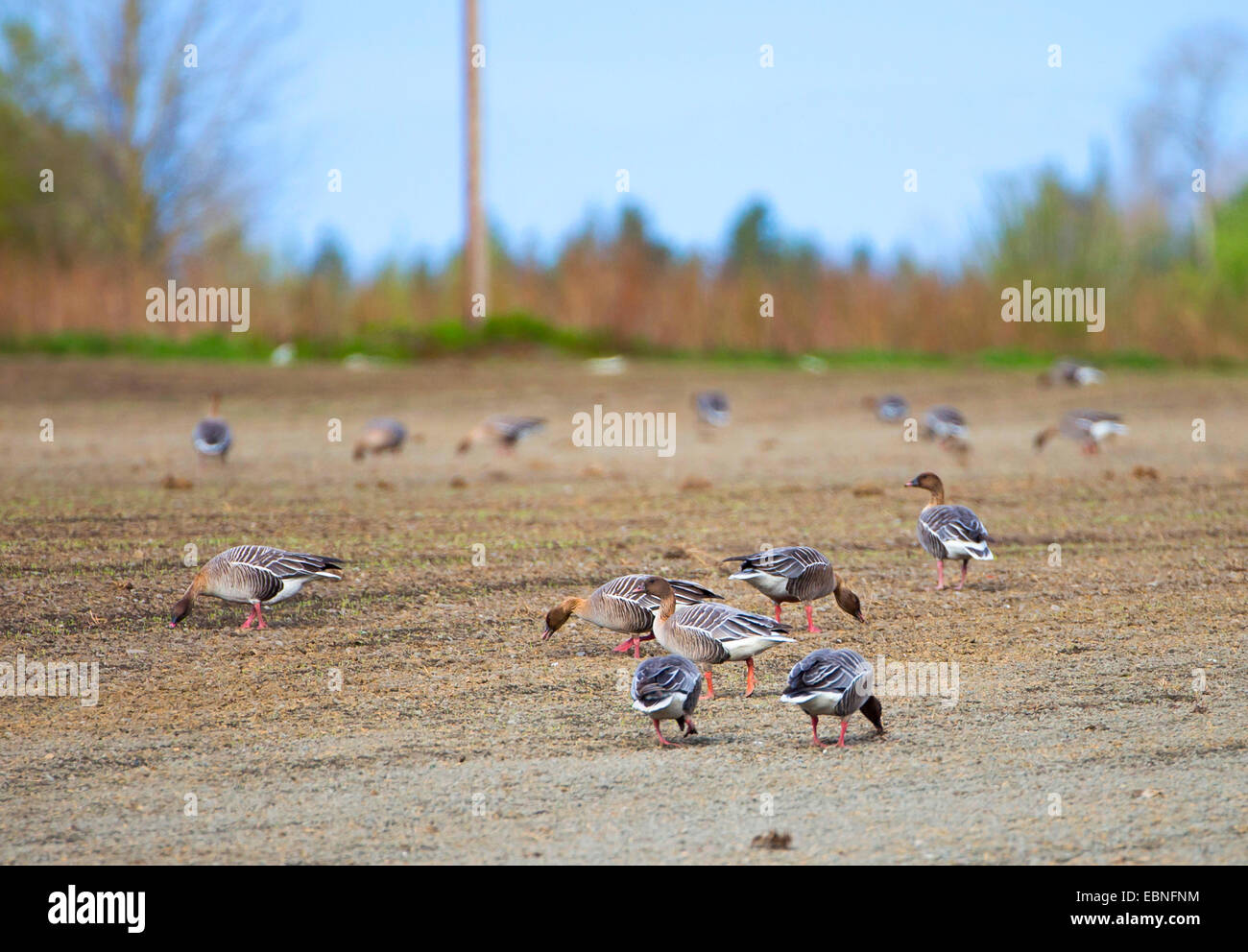 pink-footed goose (Anser brachyrhynchus), pink-footed goose on the field, Norway, Nord-Trondelag, Trones - Stock Image