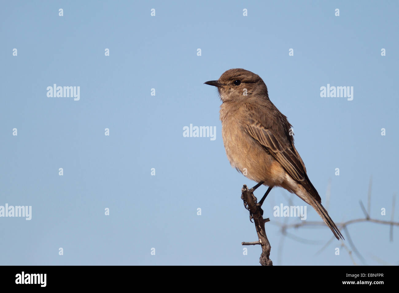 African brown flycatcher (Melaenornis infuscatus), sitting on a branch, South Africa, Kgalagadi Transfrontier National - Stock Image