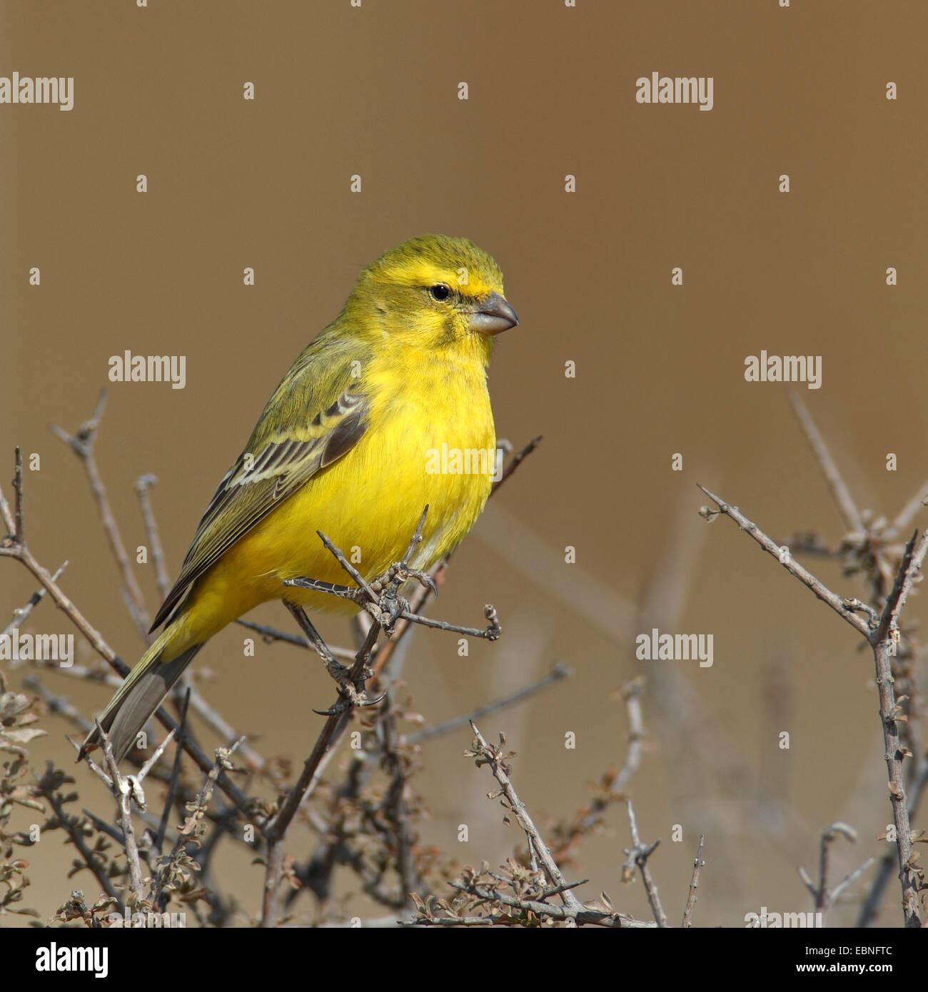 Yellow canary (Serinus flaviventris), male sitting on a bush, South Africa, Kgalagadi Transfrontier National Park - Stock Image