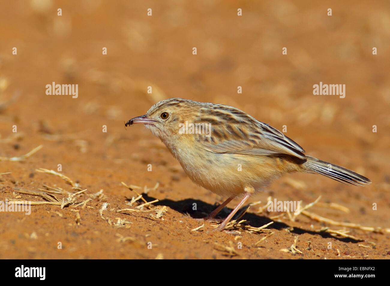 Desert cisticola (Cisticola aridula), eating ants on the ground, South Africa, Barberspan Bird Sanctury - Stock Image