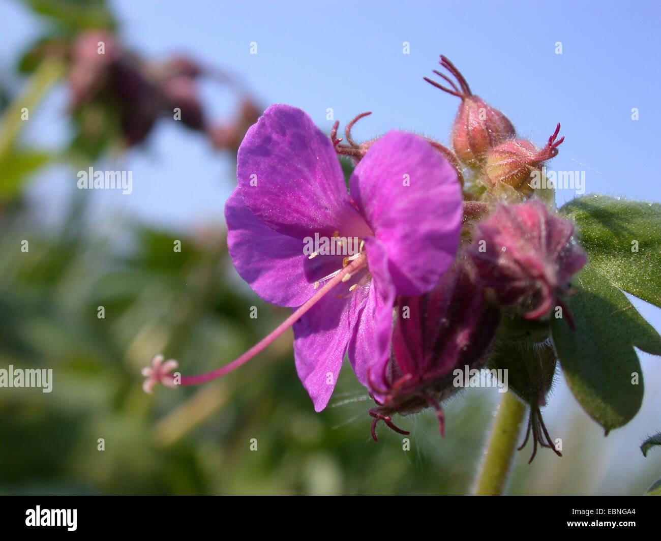 Rock cranesbill, Bigroot geranium, Bulgarian geranium, Zdravetz Rock crane's-bill (Geranium macrorrhizum), flower, - Stock Image