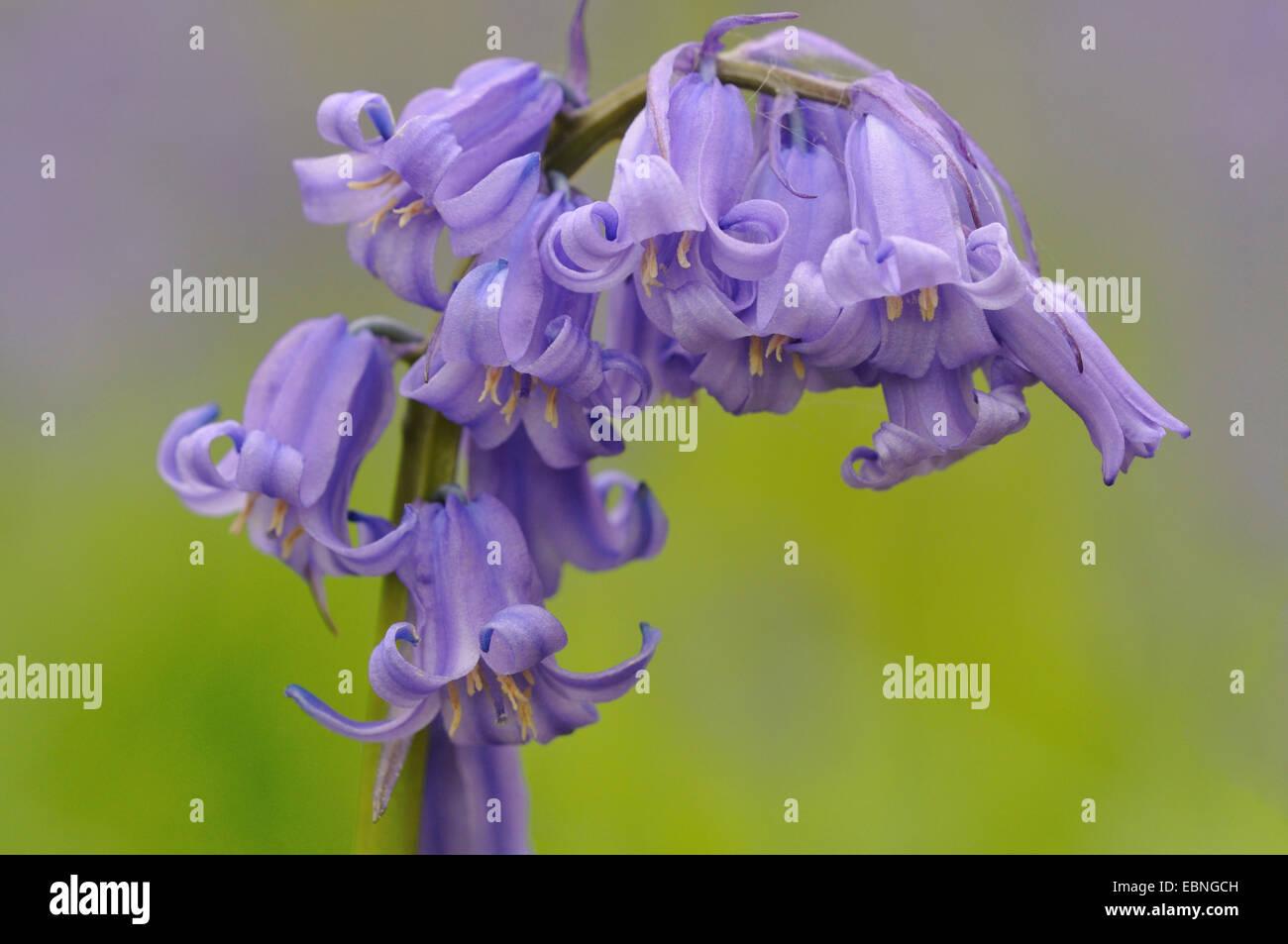 Atlantic bluebell (Hyacinthoides non-scripta, Endymion non-scriptus, Scilla non-scripta), inforescence, Germany Stock Photo