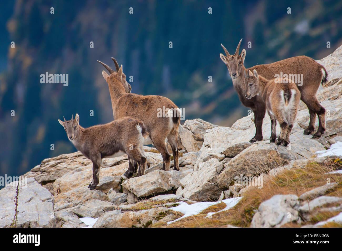 Alpine ibex (Capra ibex, Capra ibex ibex), females with their young animals in autumn, Switzerland, Toggenburg, - Stock Image