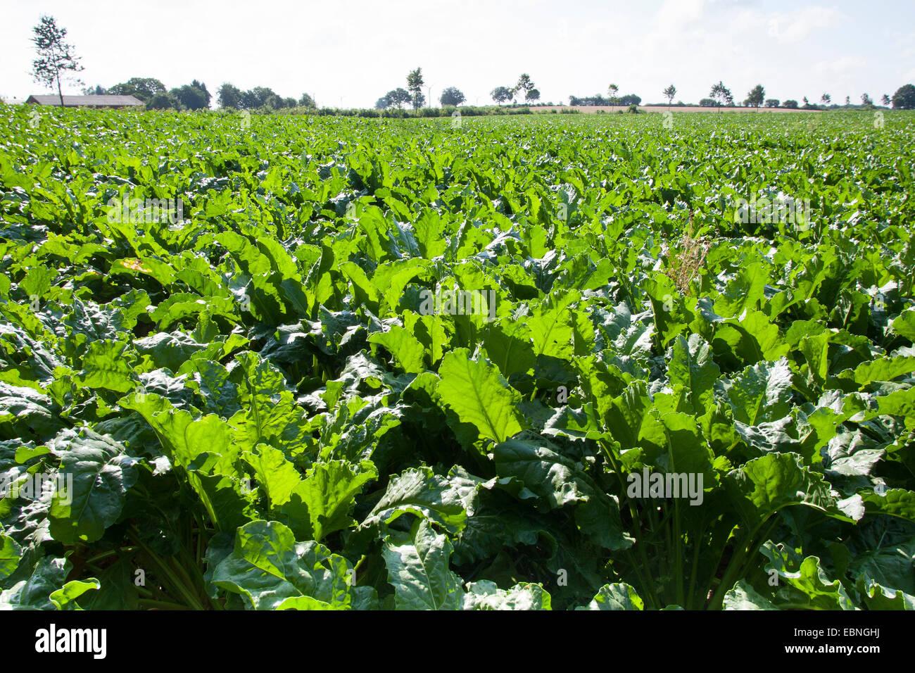 Sugar beet, Sugar-beet, Beet root, Sugar-beet root (Beta vulgaris var. altissima), sugar beet field, Germany - Stock Image