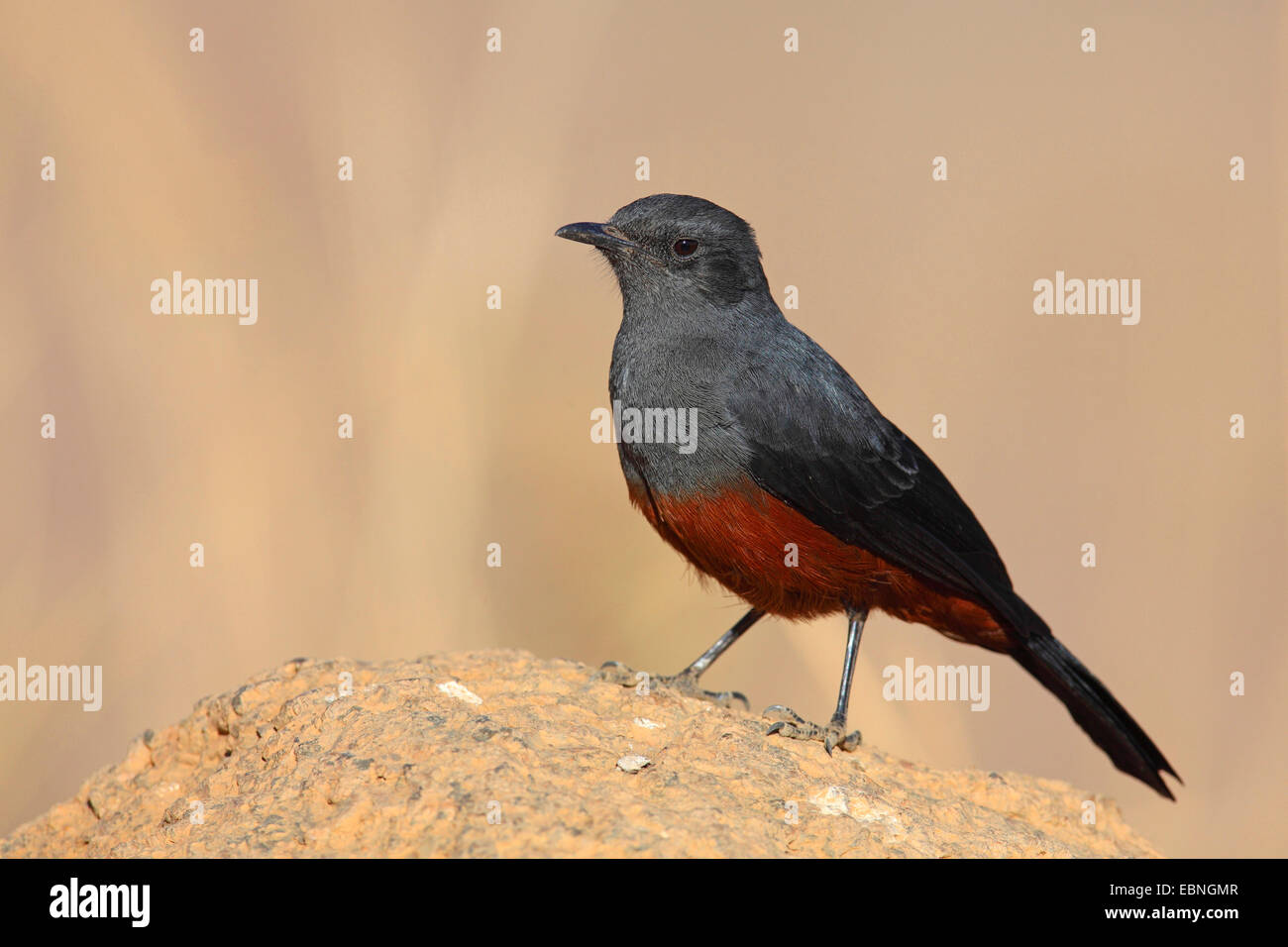 mocking cliffchat (Myrmecocichla cinnamomeiventris), female sits on a stone, South Africa, Pilanesberg National - Stock Image