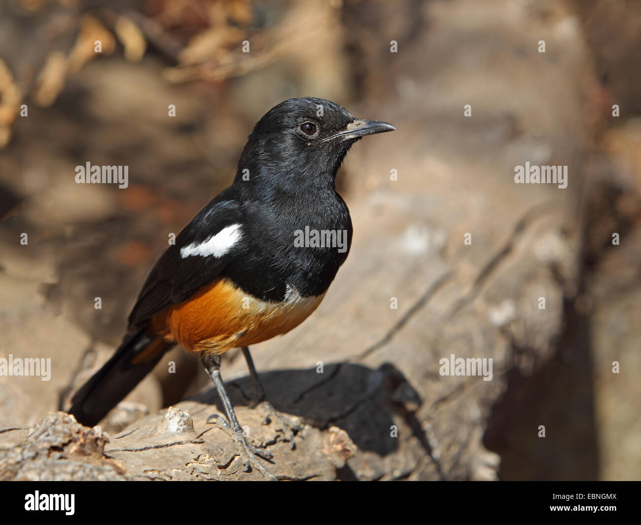 Mocking cliffchat (Myrmecocichla cinnamomeiventris), male sits on a stone, South Africa, Pilanesberg National Park - Stock Image