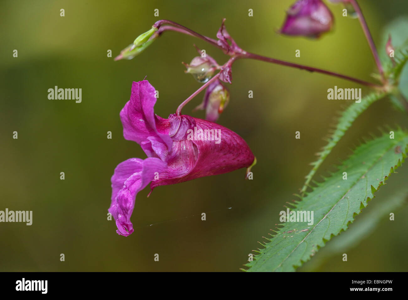 Himalayan balsam, Indian balsam, red jewelweed, ornamental jewelweed, policeman's helmet (Impatiens glandulifera), - Stock Image