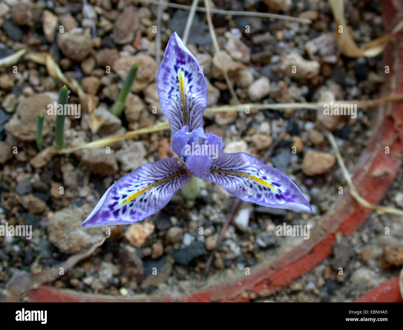 Histrio iris (Iris histrio), flower - Stock Image