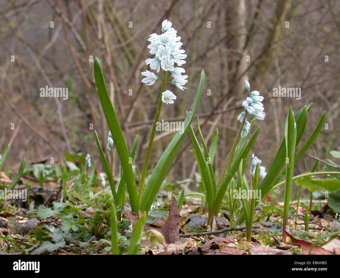 Puschkinia (Puschkinia scilloides), blooming Stock Photo