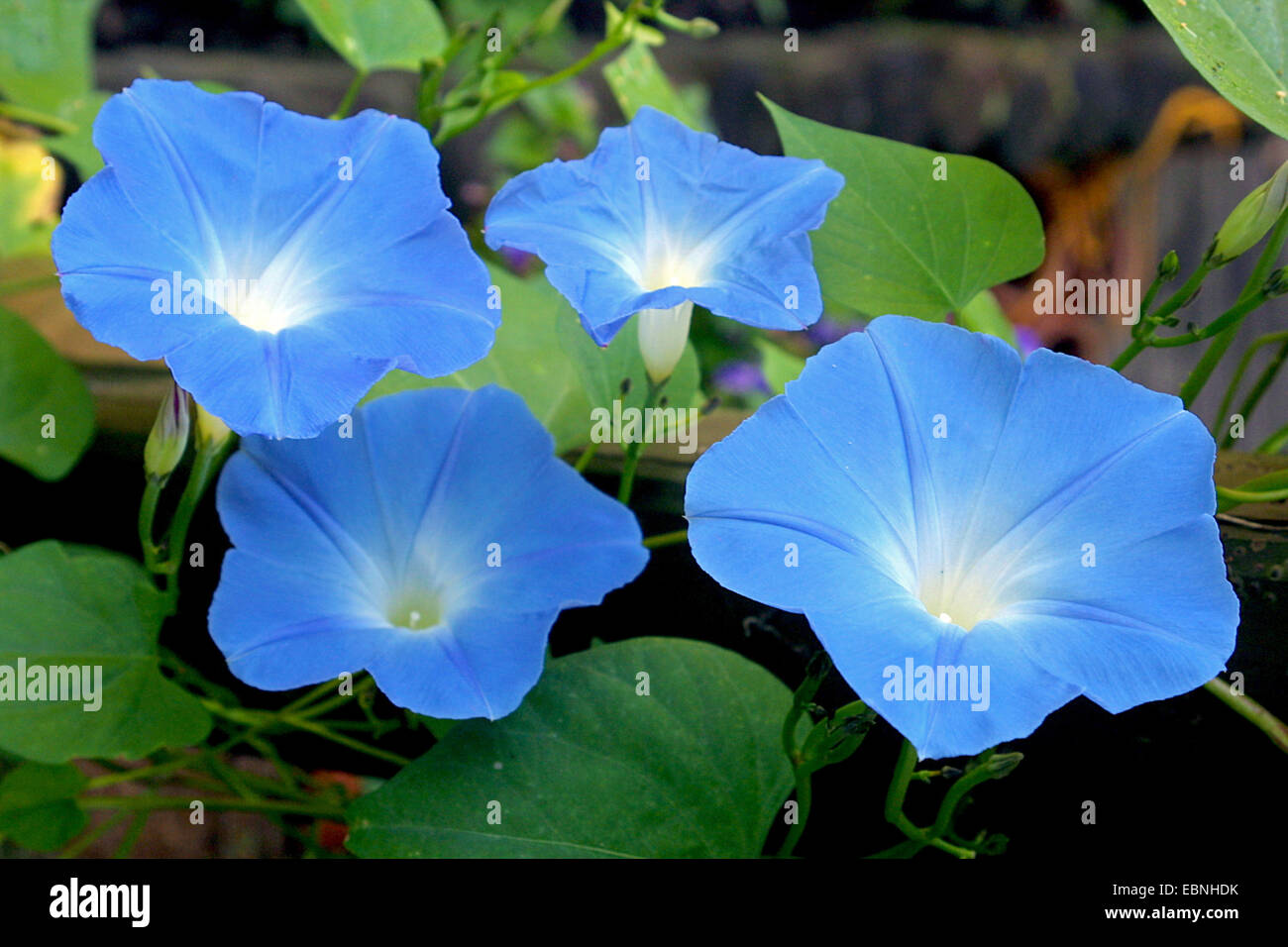 morning glory (Ipomoea tricolor 'Heavenly Blue', Ipomoea tricolor Heavenly Blue), flowers - Stock Image
