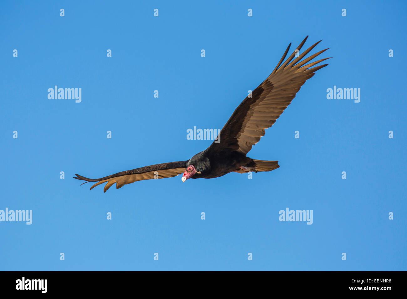 turkey vulture (Cathartes aura), gliding, USA, Arizona, Sonoran - Stock Image