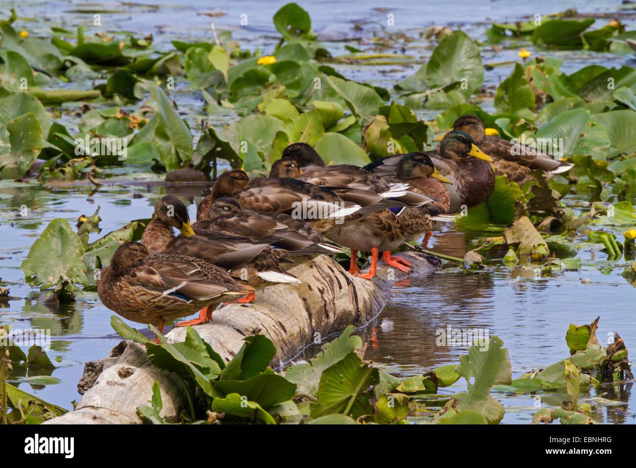 gadwall (Anas strepera, Mareca strepera), sleeping with mallards on driftwood, Germany, Bavaria, Lake Chiemsee - Stock Image