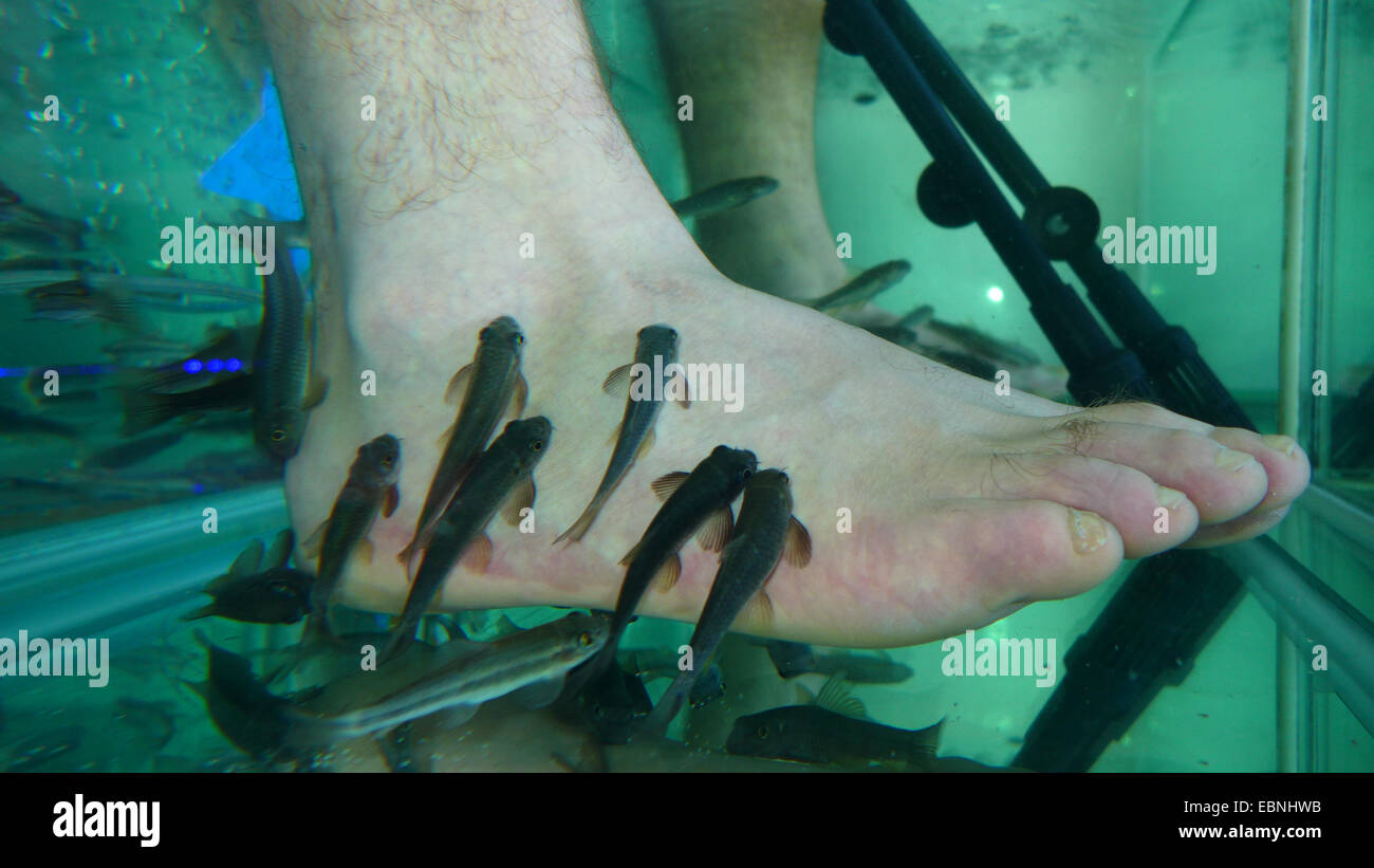 Doctor fish, Nibble fish, Kangal fish (Garra rufa), fish spa, doctor fishes feeding on skin particles of human feet - Stock Image