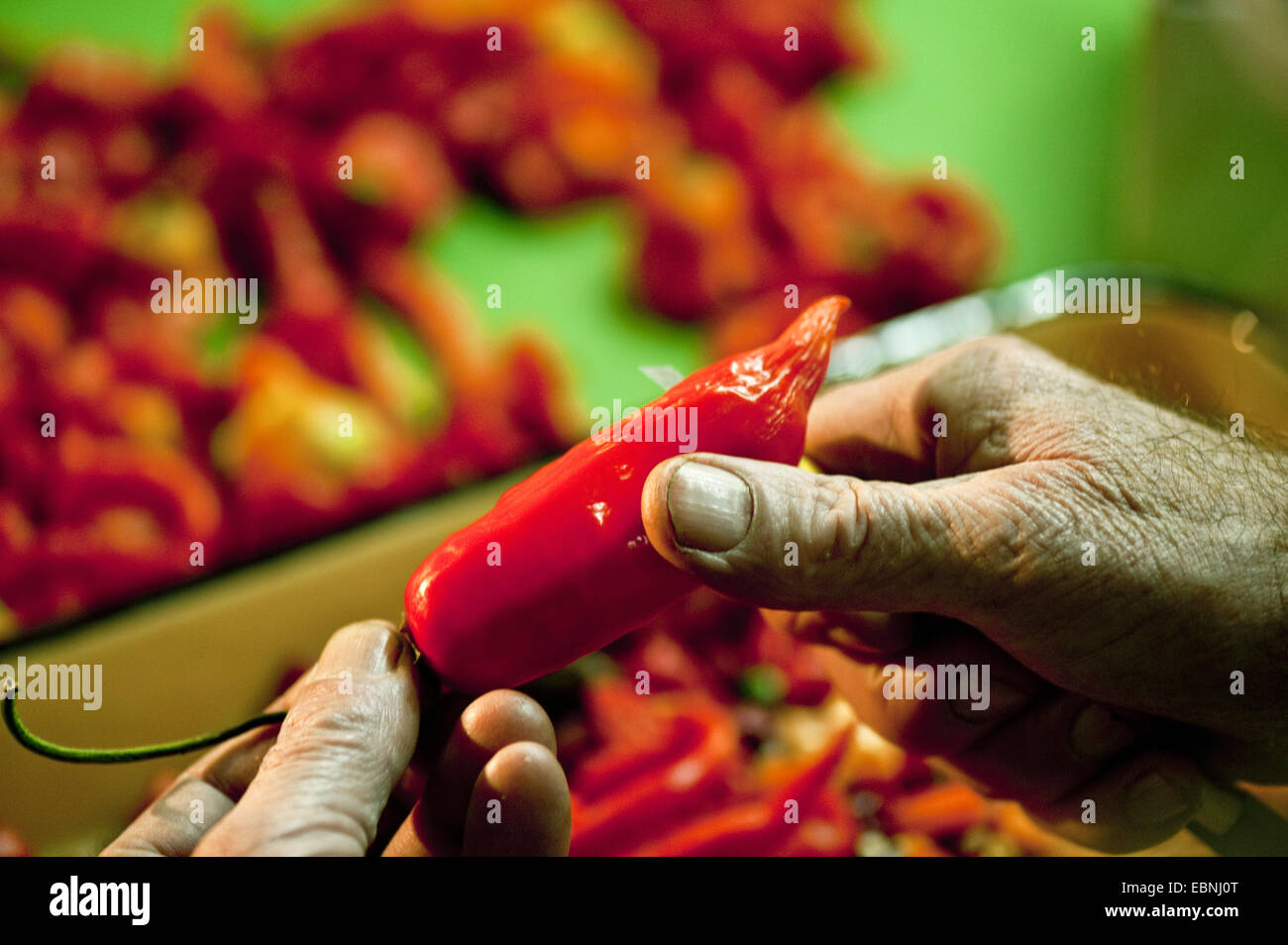 chili pepper, paprika (Capsicum annuum), man slicing red chili peppers with a cutter - Stock Image