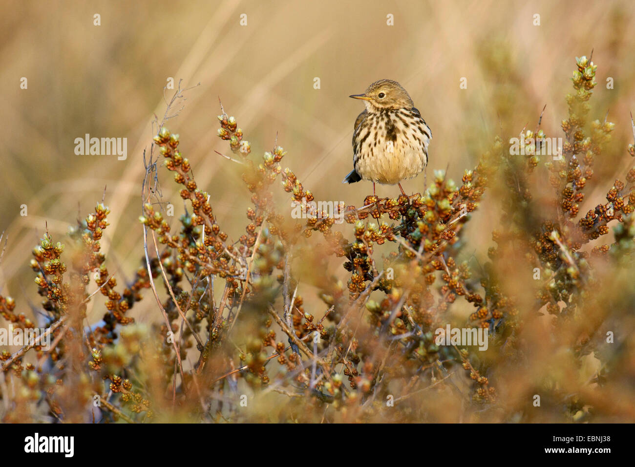 Meadow Pitpit (Anthus pratensis), sitting in a shrub, Netherlands, Texel, Frisia - Stock Image