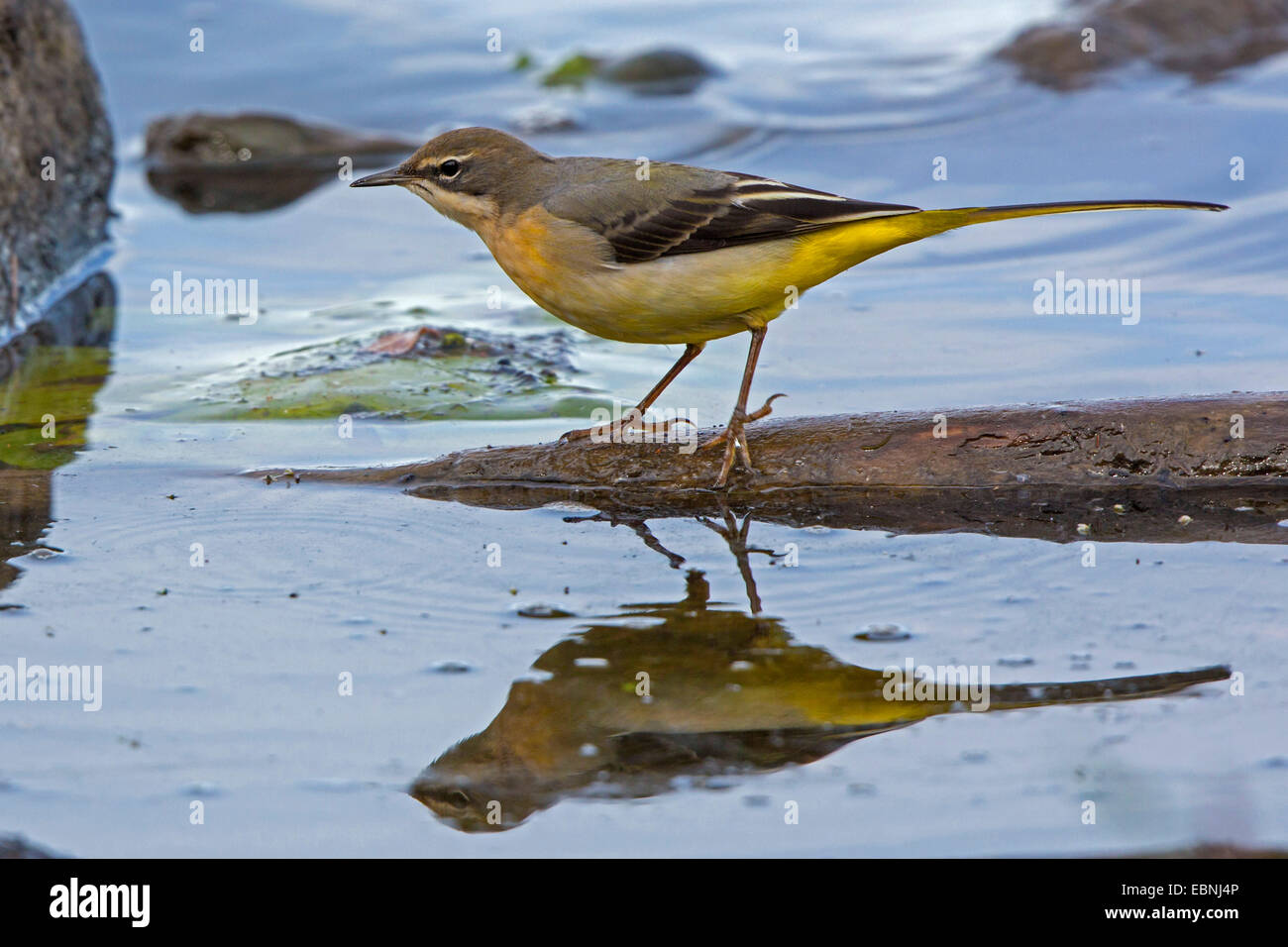 grey wagtail (Motacilla cinerea), in shallow water with mirror image, Germany, Bavaria, Lake Chiemsee Stock Photo